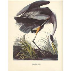 c1950 Audubon Print, Great Blue Heron