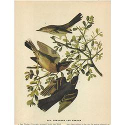c1946 Audubon Print #369 Thrasher and Thrush