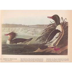 c1946 Audubon Print #331 American Merganser