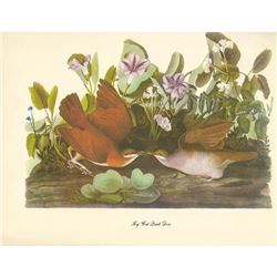 c1950 Audubon Print, Key West Quail-Dove