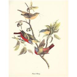 c1950 Audubon Print, Painted Bunting
