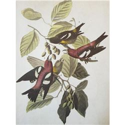 c1946 Audubon Print, # 364 White-Winged Crossbill