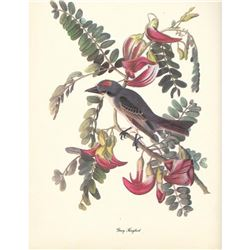 c1950 Audubon Print, Gray Kingbird