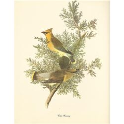 c1950 Audubon Print, Cedar Waxwing