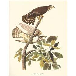 c1950 Audubon Print, Merlin or Pigeon Hawk