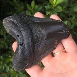 "Massive 4 1/4"" Coastal South Carolina Found Prehistoric Megalodon Shark's Tooth Fossil"