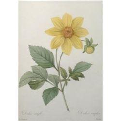 After Pierre-Jospeh Redoute, Floral Print, #29 Dalhia simple