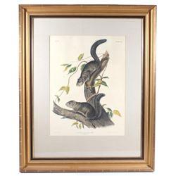 1847 John Audubon Large Squirrel Etching ORIGINAL