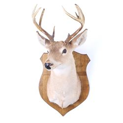 Montana 4x4 White Tail Taxidermy Shoulder Mount