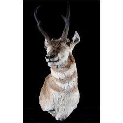 Trophy Montana Pronghorn Antelope Shoulder Mount
