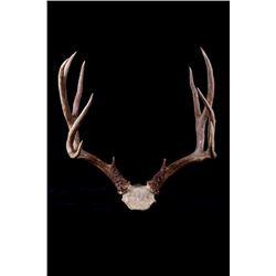 Montana 5x4 Mule Deer Antler Rack