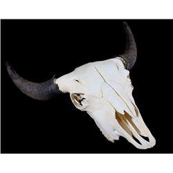 Great American Buffalo Montana Trophy Skull