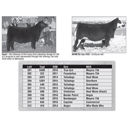 Lot - 302 - ICC Club Calf Female