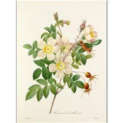 After Pierre-Jospeh Redoute, Floral Print, #130 Rosier de Candolle Variete (Rose) (x10)