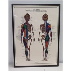 """Framed Female Muscular & Skeletal System by Bruce Aigra '84 Anatomy Series 25"""" x 34"""""""