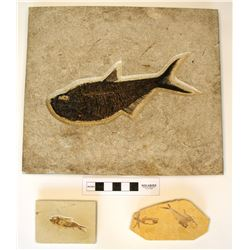 Impressive Dyplomystus Fish Fossil with Two Small Split-Fish Slabs  #110636