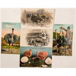 San Diego, CA Ostrich Farm Postcards  #102374