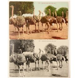 San Jose, CA Ostrich Farm Postcards  #90774
