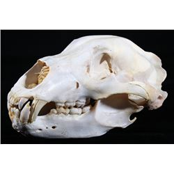 Alaskan Trophy Kodiak Brown Bear Taxidermy Skull