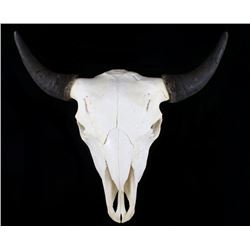 Great American Trophy Montana Buffalo Skull