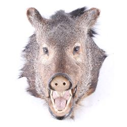 Javelina Taxidermy Shoulder Mount