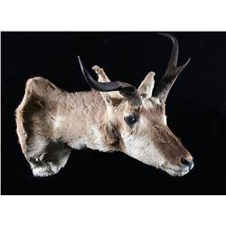 Montana Trophy Pronghorn Antelope Shoulder Mount