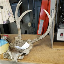 SET OF ANTLERS AND HALF SKULL