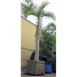Tall Royal Palm Tree in Concrete Base Planter