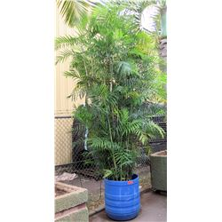Tall Fern Plant in Blue Brute Planter