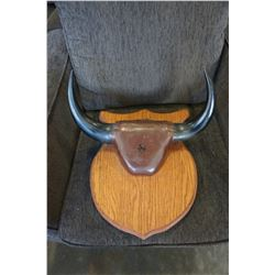 MOUNTED AUTHENTIC BULL HORNS