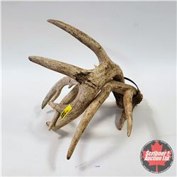 CHOICE OF 10 : Pair of Antler Sheds