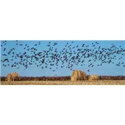THREE DAY DOVE AND PIGEON HUNT FOR SIX HUNTERS