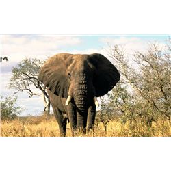 SEVEN DAY, NON- EXPORTABLE ELEPHANT HUNT IN ZIMBABWE