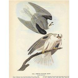 c1946 Audubon Print, White-Tailed Kite