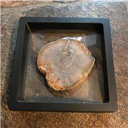 Petrified Conifer Wood Fossil Display Specimen