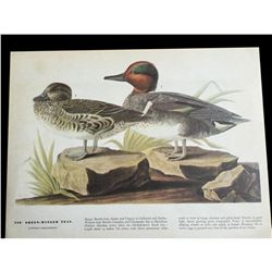 c1946 Audubon Print, #228 Green-Winged Teal
