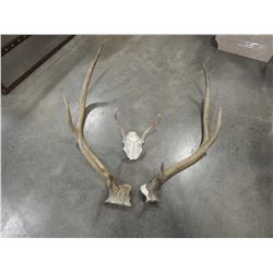 LOT OF ANTLERS - ELK AND OTHERS