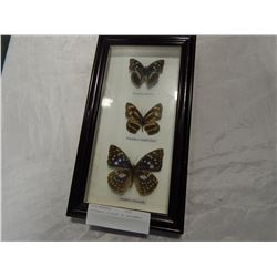 BUTTERFLY DISPLAY IN SHADOWBOX