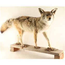 Full Mounted Coyote