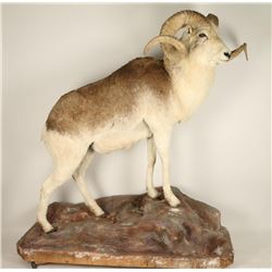 Full Mounted Marco Polo Sheep
