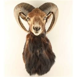 Shoulder Mounted Big Horn Sheep