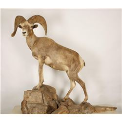 Full Mount of Big Horn Sheep