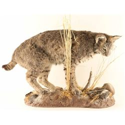 Full Mounted Arizona Bobcat