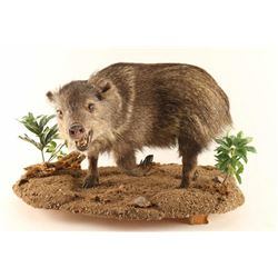 Full Mounted Baby Javelina