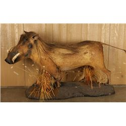 Full Mounted African Wart Hog