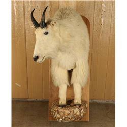 Shoulder Mounted Mountain Goat