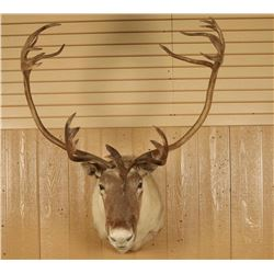 Caribou Shoulder Mounted