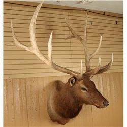Large Shoulder Mounted Elk