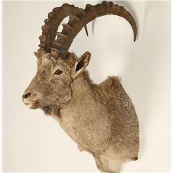 Alpine Ibex Shoulder Mount