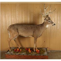 Full Mounted Buck